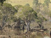 The usually vibrant Berrima Swamp, Laureldale