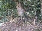 """""""Dawes' Bush"""" a subtropical rainforest at Laureldale"""