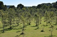 Silky Oak Plantation