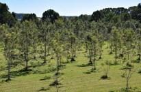Silky Oak Plantation