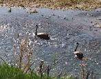 Black Swans feeding on plants & algae. Laureldale