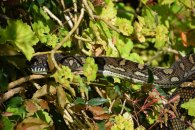 A Carpet Snake coyly suns Itself. Booyong