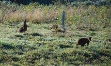 Wallabies graze in the early morning. Booyong