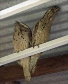 Tawney Frogmouth in a Shed